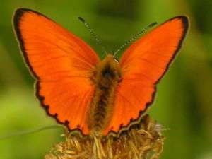 Farfalla Lycaena